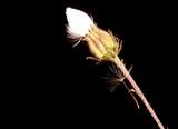 not open dandelion