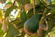 Quadro Tropical avocado tree with ripe green avocado fruits growing on plantation on Gran Canaria island, Spain, ready for harvest