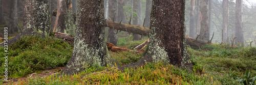 Tannenwald im Nebel, Allgäu, Allgäuer Alpen, Bayern, Deutschland, Europa - 237588393