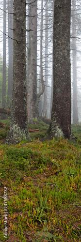 Tannenwald im Nebel, Allgäu, Allgäuer Alpen, Bayern, Deutschland, Europa - 237588732