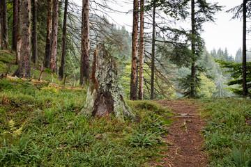 Tannenwald im Nebel, Allgäu, Allgäuer Alpen, Bayern, Deutschland, Europa