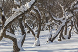 Snow-covered apple trees in an orchard, close up
