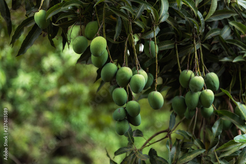 Foto Murales Green mangoes on tree. A bunch of fresh mangoes hanging from tree.