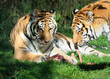 Two Tigers Licking Their Chops Over the Remaining Bones of their Dinner