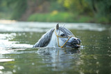 Gorgeous stallion swimming in river