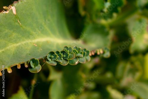 poppy plant - 237654598