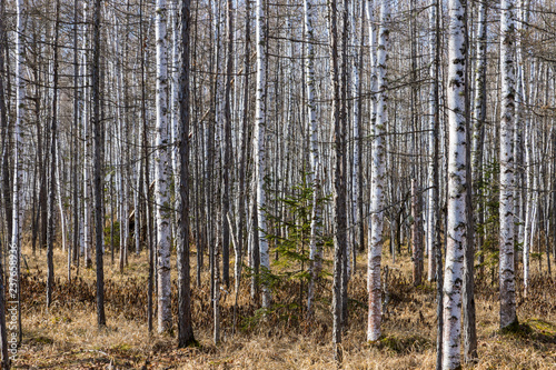 Birch grove. Autumn or spring forest. Nature background.