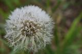 Dew on a dandelion puff