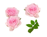 Set of pink rose flowers and leaves