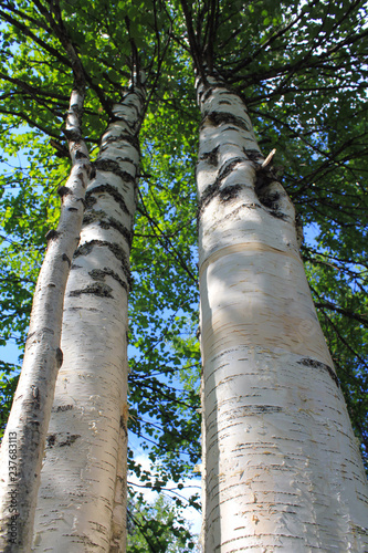 birch grove in summer, tree in forest