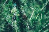 Christmas background. Green fir tree. - 237683313
