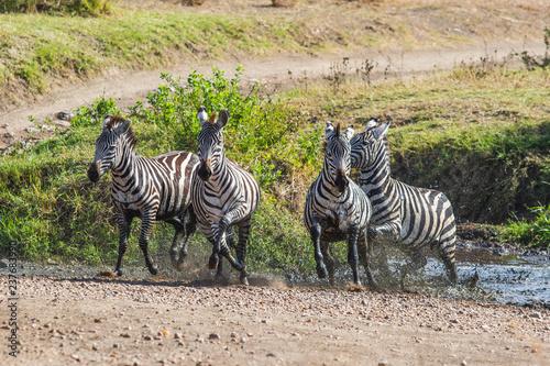Zebras am Wasserloch - 237683990