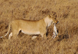 A female lion with a young mammal prey in its mouth in Serengeti Safari park in Tanzania, Africa