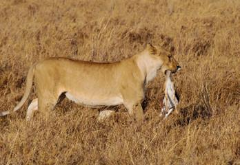 A female lion with a young mammal prey in its mouth in Serengeti Safari park in Tanzania, Africa © pcruciatti