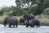Elephant group taking bath and drinking at a waterhole in Chobe National Park, Botswana