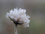 Plant in frost. Macro. The sudden cold change in the weather - 237701738