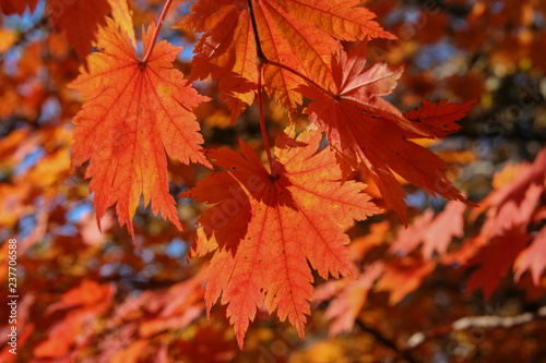 maple leaves in autumn - 237706588