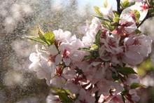 "Постер, картина, фотообои ""blooming cherry tree"""