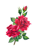 Red roses. Watercolor flower for Valentine day