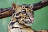 Clouded Leopard close up portrait