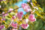 Beautiful cherry blossom , pink sakura flower on nature background - selective focus - 237739199