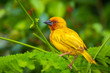 Quadro African Eastern Golden Weaver bird Ploceus subaureus male perched on a palm leaf.