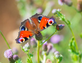 Peacock butterfly Inachis io perching, wings detail - 237749168