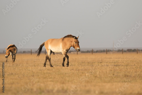 wild horses of Przewalski
