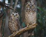 Two Great Horned Owls Perched on a Low Eucalyptus Tree Branch - 237763773