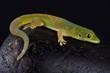 Quadro Pasteur's day gecko (Phelsuma pasteuri)
