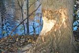 Drzewo uszkodzone przez bobra