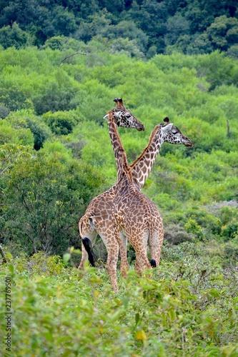 Plakat giraffenpaar arusha nationalpark tansania