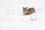 Bobcat (Lynx rufus) in Snow Looking Grumpy - 237769711