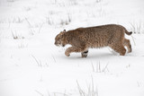 Bobcat (Lynx rufus) Stalks Left Through Snow - 237769916