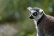 Leinwanddruck Bild - Katta im Freigehege Augsburg Zoo