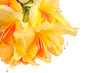 Quadro Yellow Japanese Azalea isolated on white background. Selective focus. Bunch of many light yellow color flowers.