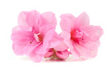 Pink Japanese Azalea isolated on white background. Selective focus. Bunch of many light pink color flowers. - 237781110