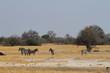 Zebras in der Savanne im südlichen Afrika
