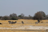 Zebras in der Savanne im südlichen Afrika  - 237782557