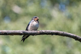 Barn swallow cute chick perching on branch. Juvenile barn swallow (Hirundo rustica) with white belly on blurred green background. - 237793702