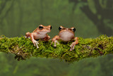 A close up portrait of two gold tree frogs resting on a lichen covered branch and staring forward - 237798713