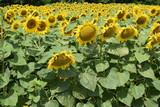 kwitnące słoneczniki krajobraz