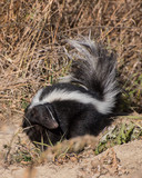 Fluffy young skunk - 237802188