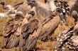 Leinwandbild Motiv geier in der savanne