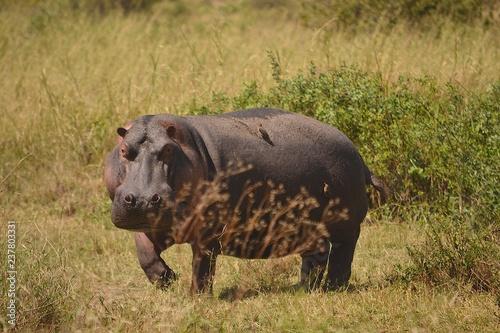 Leinwandbild Motiv nilpferd an and serengeti