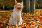 sitzende miauende rothaarige Hauskatze im Herbstlaub - 237809110