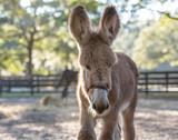 Donkey foal in sand paddock
