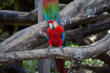 colored parrot red and with green and blue wings sitting on a branch against the backdrop of a tree...