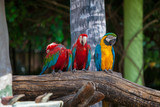 three colored parrots red and yellow with green and blue wings sitting on a branch against the backdrop of a tree...