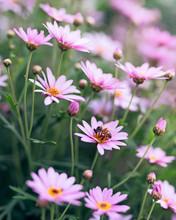 """Постер, картина, фотообои """"Field of beautiful pink flowers and bee inside a flower"""""""